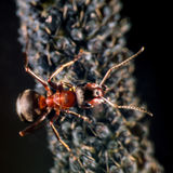 Ant and plant lice Royalty Free Stock Images