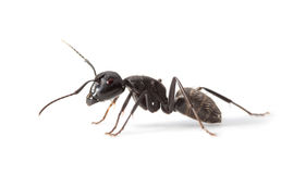 Ant side view. Macro lateral view of ant standing over white background Royalty Free Stock Image