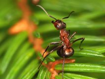 ant Singing on a branch. Forest ant singing on a fur-tree branch Royalty Free Stock Photos