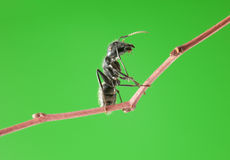 Ant sit on brunch. Macro of big black ant sitting on tree twig over green background Stock Photos