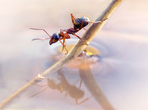 Ant sitting on a straw Royalty Free Stock Photo