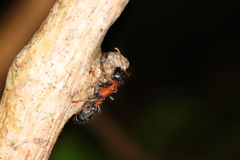 Ant. A small insect that lives in highly organized groups. There are many types of ant Royalty Free Stock Image