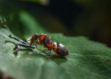 The ant. Is small but powerful it greedily eating Royalty Free Stock Photo
