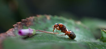 The ant royalty free stock photos