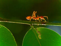 Ant Solo Royalty Free Stock Images
