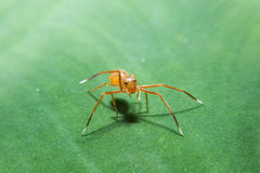 Ant spider on green leaf with close up detailed view. Stock Photos