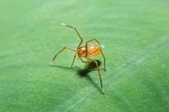 Ant spider on green leaf with close up detailed view. Stock Photo