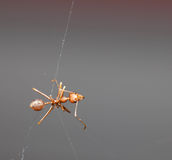 Ant on the spider web Royalty Free Stock Images