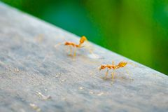 Ant standing on wooden floor Royalty Free Stock Photography