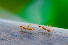 Ant standing on wooden floor Stock Images