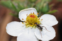 Ant strawberry blossom Stock Images