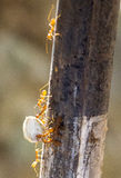 Ant Teamwork Stock Photography