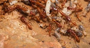Ant teamwork Royalty Free Stock Photos