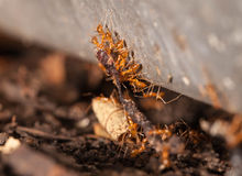 Ant teamwork to carry their victim Stock Photography