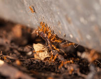 Ant teamwork to carry their victim Stock Images