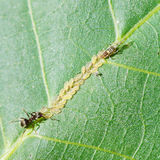 Ant tending aphids herd on leaf Stock Photography