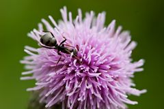Ant on Thistle royalty free stock images