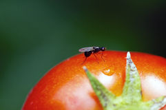 Ant on tomato Stock Photography