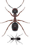 Ant. Top view of an ant Stock Illustration