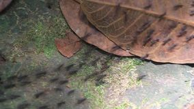 Ant trail in a forest. Covering Maderas volcano on Ometepe island, Nicaragua stock video