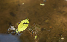 Ant Trapped on Leaf in Pond Stock Image