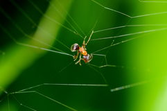 Ant trapped in spider web. Macro view of any trapped in spider web with green background royalty free stock image