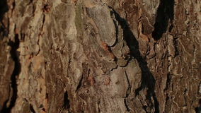 Ant on a tree bark stock video