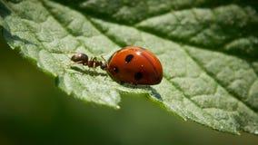 Ant versus ladybug stock photos