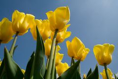 Ant view of Dutch tulips Stock Images