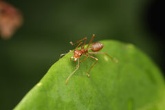 Ant walk on the leaf. Royalty Free Stock Photos