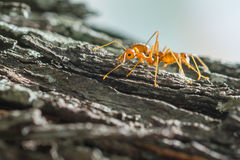 Ant walk on the tree Royalty Free Stock Photo