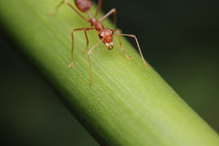 Ant walk on the twigs. Stock Image