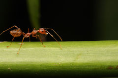 Ant walk on Twigs. Royalty Free Stock Photo