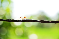 Ant walking royalty free stock photo