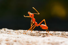 Ant walking. On brown stone Royalty Free Stock Images