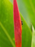 Ant Walking nero sopra Immagini Stock