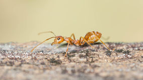 Ant walking Stock Photography