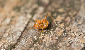 Ant walking Royalty Free Stock Photography