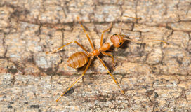 Ant walking Stock Photo