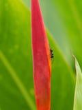 Ant Walking preto sobre Imagens de Stock