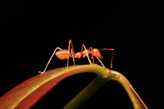 Ant walking on twigs. To foraging Stock Photo