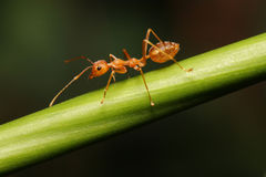 Ant walking on twigs. To foraging Royalty Free Stock Photo