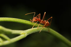 Ant walking on twigs. To foraging Stock Photos
