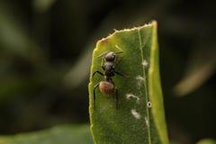 Ant Walking On una hoja Fotos de archivo