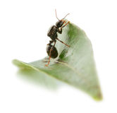 Ant wants to overcome a leaf. Royalty Free Stock Image