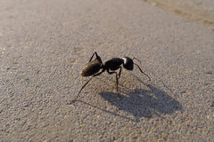 Ant warrior Royalty Free Stock Photos