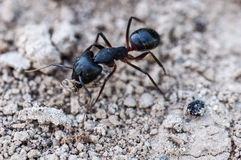 Ant warrior Stock Photos