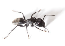 Ant warrior Royalty Free Stock Photography
