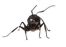 Ant warrior portrait Royalty Free Stock Photos