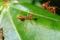 Red ants. Weaver ant closeup stock photography